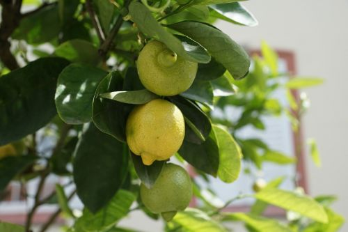 lemon tree green