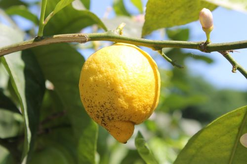 lemon lemon tree tree
