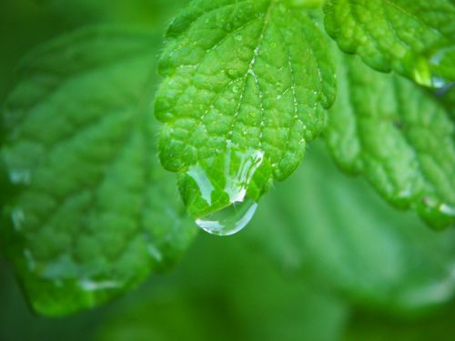 lemon balm plant herbs