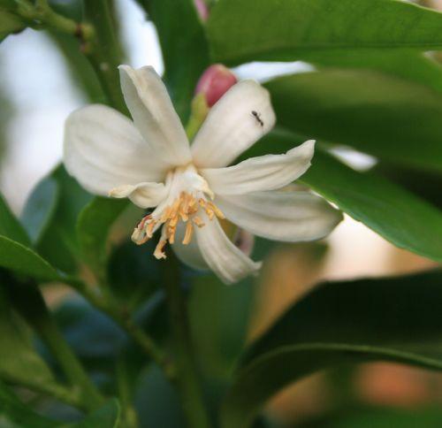gėlė, žiedas, mažas, balta, subtilus, lapija, žalias, medis, citrina, sodas, citrinų žiedas