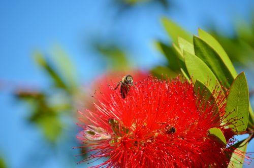citrinos buteliukas,kalistemon citrinus,gėlės,gėlė,augalas,raudona,buteliukas,gamta,bitės,vabzdys,pabarstyti,žiedadulkės