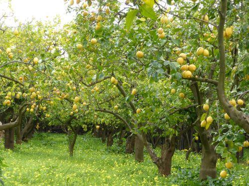lemon grove lemons lemon trees