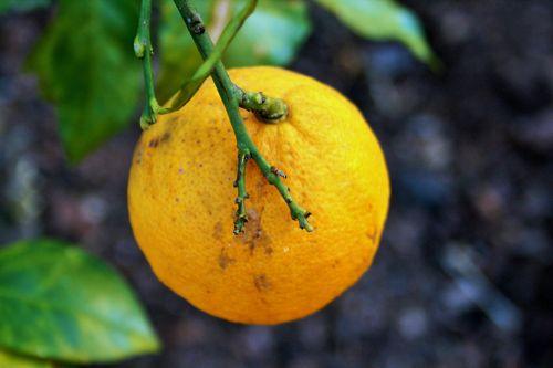 vaisiai, citrusiniai, citrina, geltona, stiebas, žalias, citrina ant stiebo