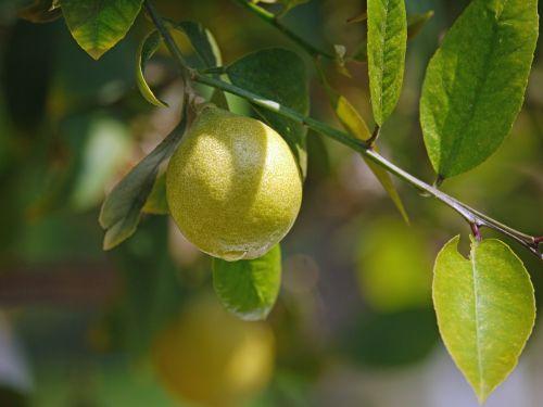 lemon tree lemon yellow
