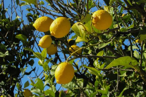lemon tree lemon tree
