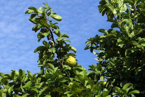 lemon tree citron fruit