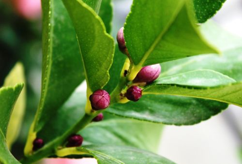 lemon tree buttons lemon tree flower buds