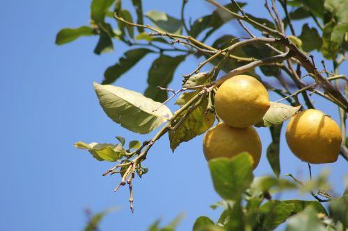 citrinmedis,citrinos,medis,vaisiai,rūgštus,bio,Citrusiniai vaisiai,vaisiai