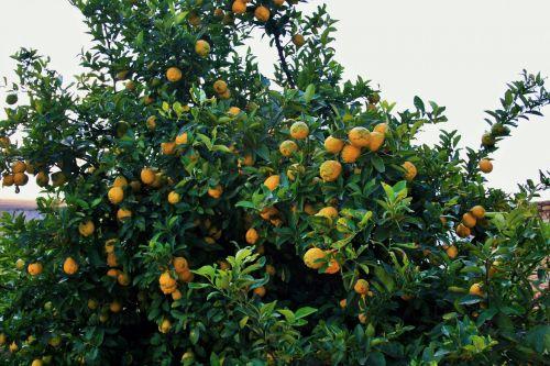 Lemon Tree Bearing Fruit