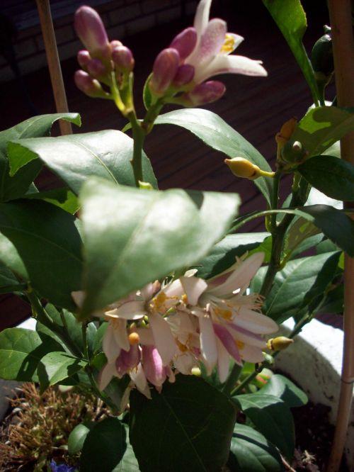 gėlė, citrina & nbsp, medis, citrina & nbsp, medis & nbsp, gėlė, augalas, medis, citrinos gėlė
