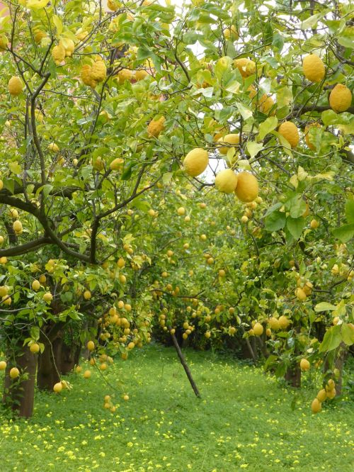 lemon trees lemons lemon grove