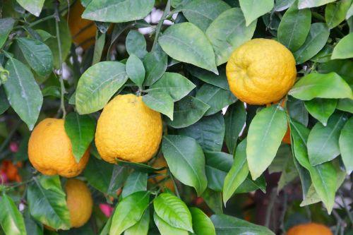 lemons lemon tree citrus