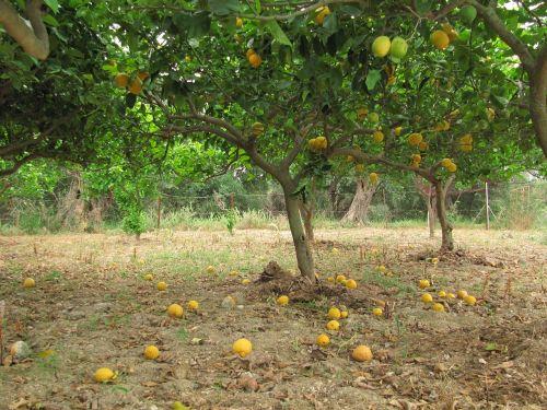 lemons citrus citrus fruit