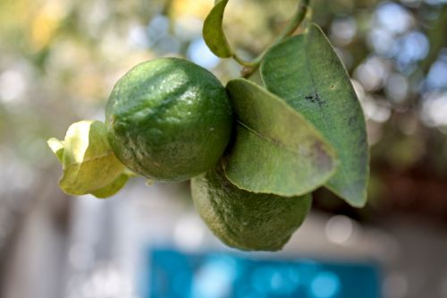 citrinos, citrusiniai, citrina, vaisiai, geltona, maistas, šviežias, sultingas, žalias, vitaminas, prinokę, spalva, rūgštus, sultys, sveikata, citrinos ant medžio