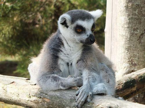 lemur maki maki catta