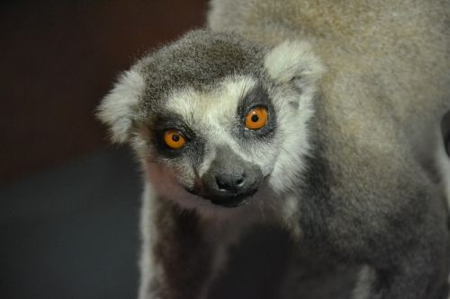 lemur animal exhibit