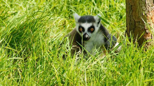 lemur ring tailed animal