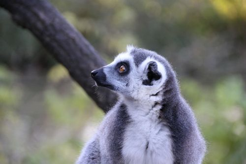 lemur animal madagascar