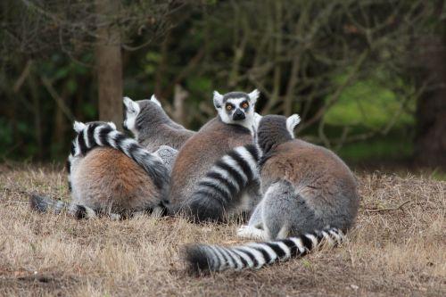 lemur ring-tailed animal
