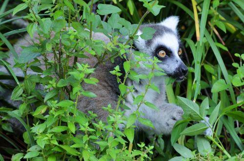 lemur maki wild