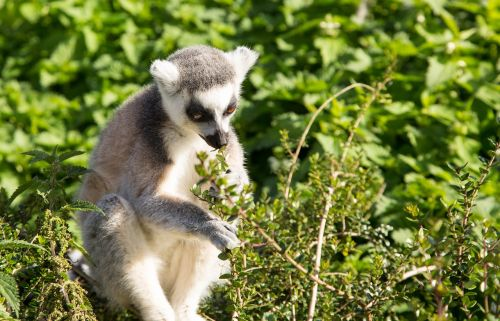 lemur ring tailed primate