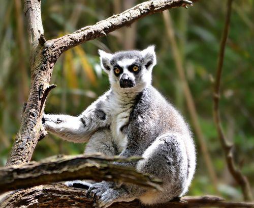 lemur animal nature