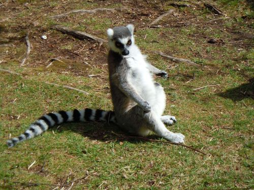 lemur sitting stripes