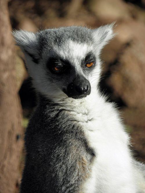 lemur mammal primate