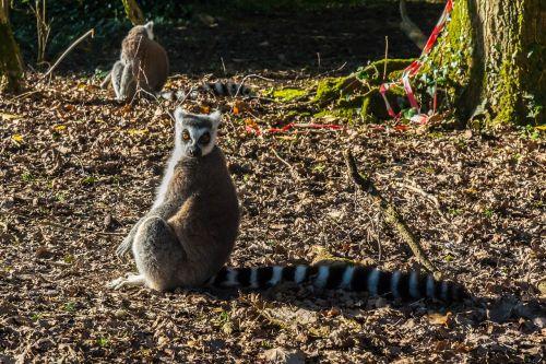 lemur primate staring