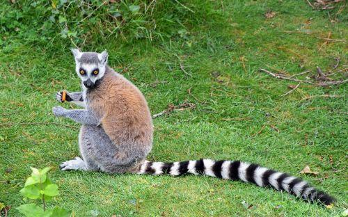 lemur maki catta tail