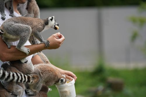 lemur feeding eat