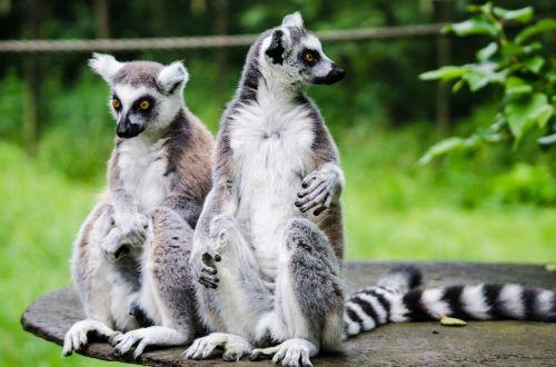 lemur zoo wildlife