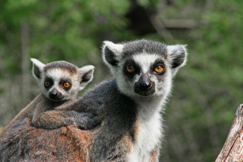 lemur ape mother with child