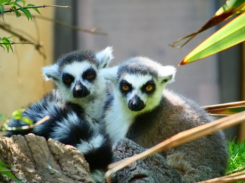 lemur  ring tailed lemur  wildlife