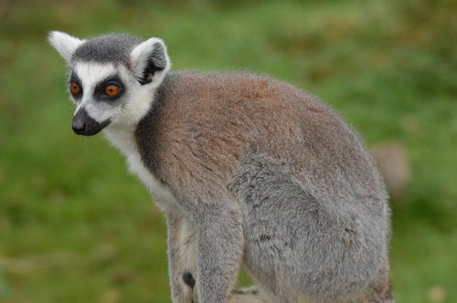 lemur  zoo  attention