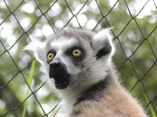 lemur animals maki