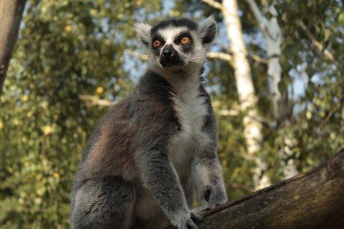 lemur  tree  wild
