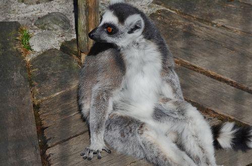 lemur mammal cute