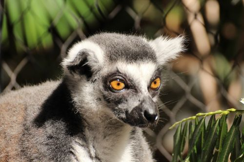 lemur animal ring tailed lemur