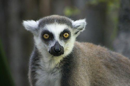 lemur  madagascar  funny