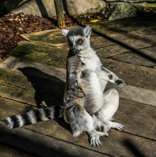 lemur portrait cuddly