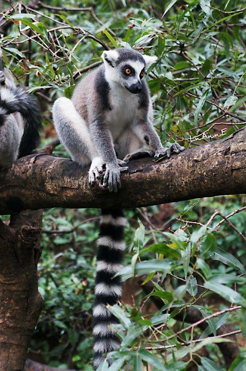 lemur animal cute