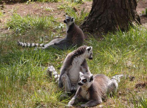 lemur wildlife animal