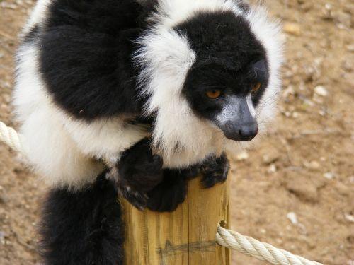 lemur maki monkey maki