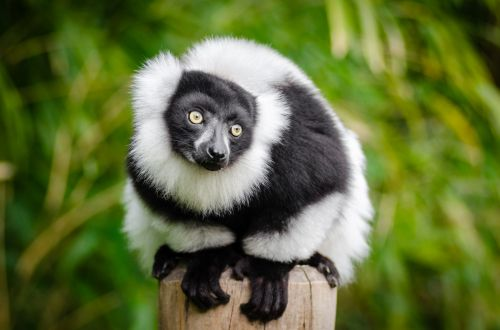 Ring-tailed Lemur, Lemur