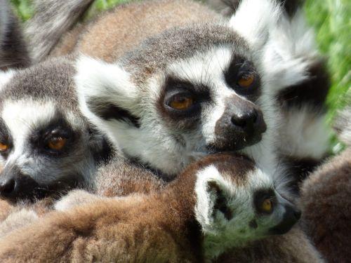 lemurs maki catta park felines