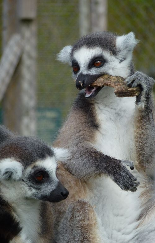 lemur's longleat eating