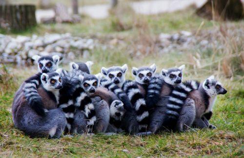 lemurs prosimians lermuren