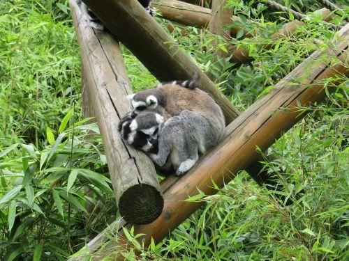 lemurs sleepy cosy