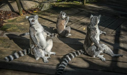 lemurs nature animal